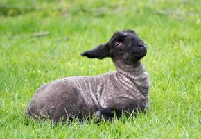 svart lamm sittande foto