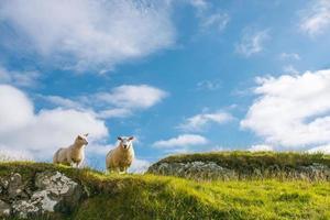 två får i grön stenig klippa mot blå himmel foto