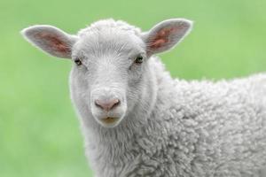 ansikte av ett vitt lamm foto
