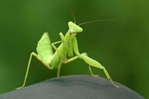 närbild av mantis foto