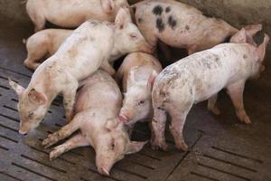 små grisar foto