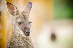 porträtt av känguru foto