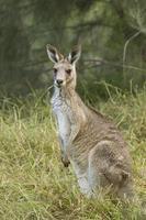 östgrå känguru foto