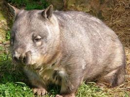 hårig nosad wombat foto