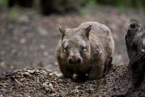 australisk hårig nosad wombat foto