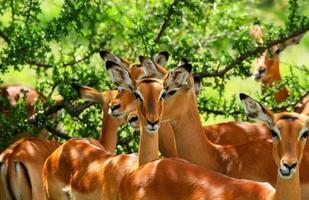 vilda antiloper foto