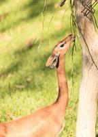 södra gerenuk, litocranius walleri foto