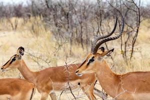 springbok antidorcas marsupialis foto