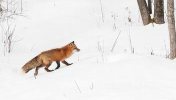 röd räv går rätt foto