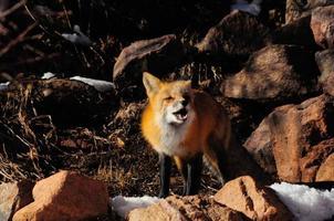 röd räv tjutande foto