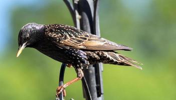 starling uppflugen på en metallram foto