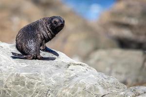 pälssäl i Nya Zeeland (arctocephalus forsteri) foto