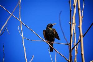 vuxen europeisk starling foto