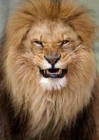 porträtt av en arg lejon foto