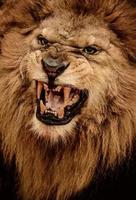 närbild skott av brusande lejon foto
