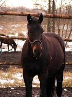 brun häst under showfall foto