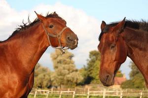 två hästar som leker med varandra foto