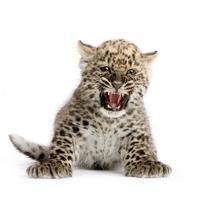 persisk leopard cub (2 månader) foto