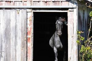 häst i dörren foto