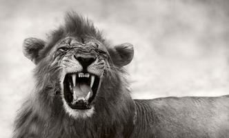 lejon som visar farliga tänder foto