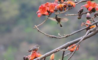 kastanj-svansar starling och himalayan bulbul foto