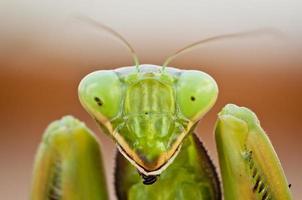 porträtt av en preying mantis foto
