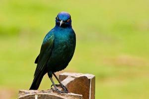 glansig starling med ett fräckt uttryck foto
