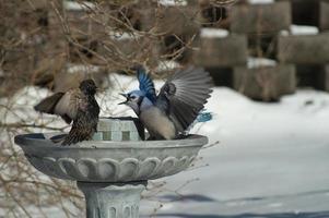 arga fåglar: blue jay & vanlig starling (sturnus vulgaris) foto