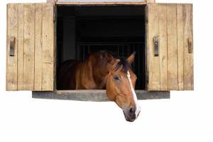 hästporträtt 2 foto