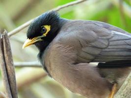 vanlig myna fågel foto