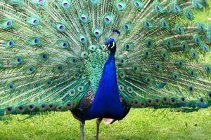 blå påfågel vacker med mångfärgade fjädrar foto