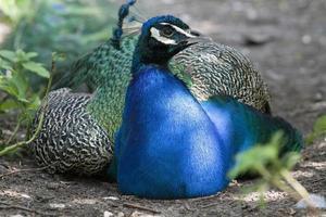 jag är blå och har vackra fjädrar foto