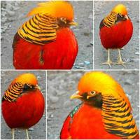 vacker exotisk fågel gyllene fasan foto