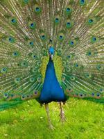 påfågel med spridda fjädrar foto