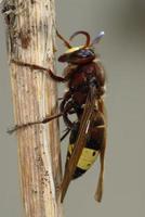 orientalisk hornet, vespa orientalis foto