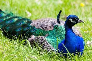 närbild på en påfågel vilande foto