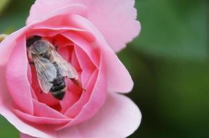 rosen och biet ... foto