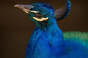 härlig påfågel foto