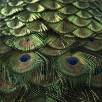 påfågelfjädrar foto