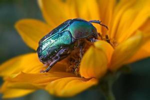 grön skalbagge firefly foto