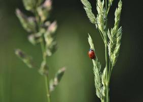 röd nyckelpiga coccinelle rouge foto