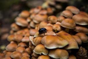 skalbagge på svamp foto
