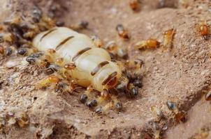närbild termiter eller vita myror, Thailand foto