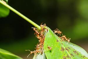 röda myror lagarbete foto