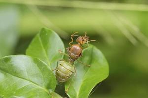 röd myra drottning