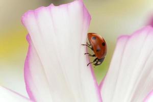 sju plats nyckelpiga, coccinella septempunctata på trädgårdskosmos foto