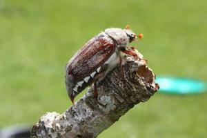magnifik cockchafer insektbagge foto