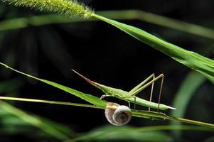 gräshoppa insekt och snigel på ett gräsblad foto