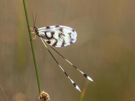 myra lejon nemoptera insekt foto