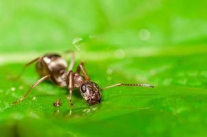 myr dricksvatten på ett blad. grunt skärpedjup foto